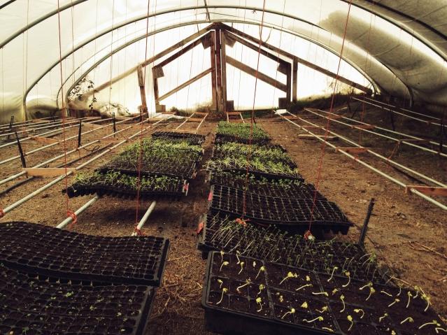 greenhouse seedlings