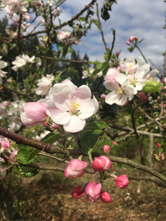 Heirloom apple and cherry orchard in bloom.